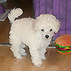 Toypudel, født november 2007